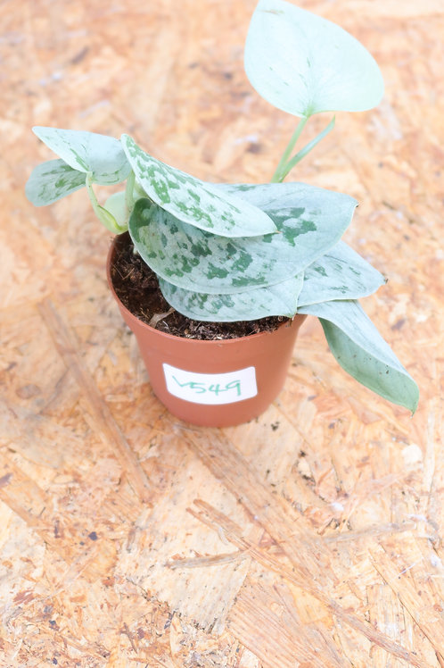 Scindapsus pictus SIlvery Ann V549