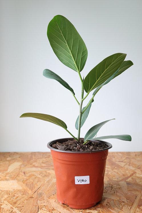 Ficus benghalensis 'Audrey' V140