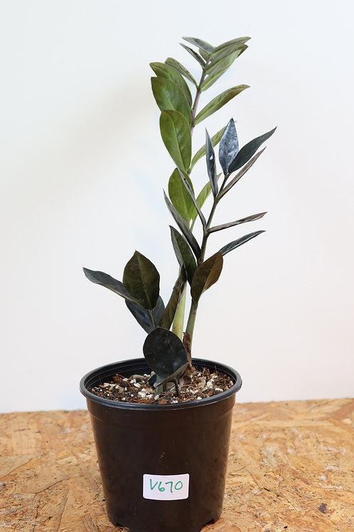 Zamioculcas zamiifolia raven V670