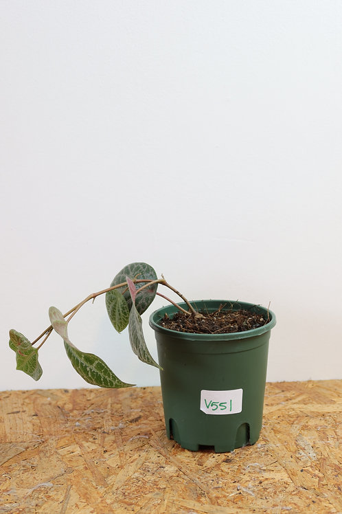 Piper Crocatum V551
