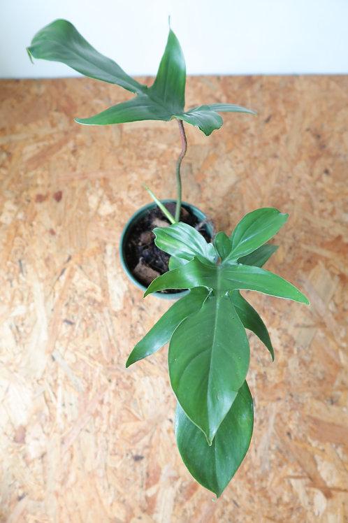 Philodendron florida green 014