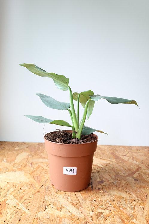 Philodendron hastatum silver sword V149