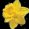 daffodil_edited.png