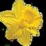 daffodil_edited_edited.png