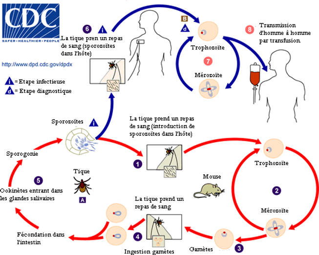 Babesia_LifeCycle(French_version).png