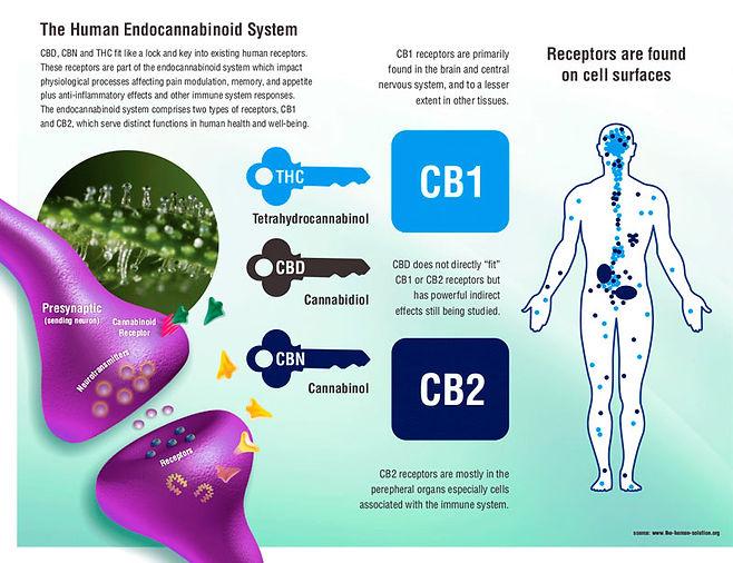 human-endocannabinoid-system.jpg