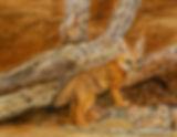 Vonnie West Desert Fox