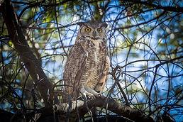 Jim Cowlin Owl.jpg