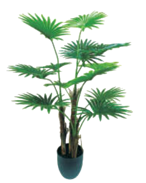 Fan palm tree  (120 ,180 cm.)