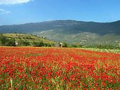 021 Poppies near the villa.jpg