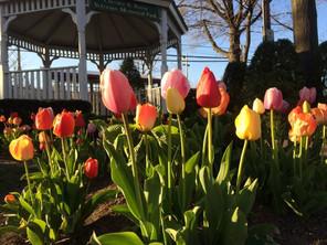 Malverne Tulips