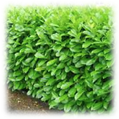 Laurel Bush Wall.png