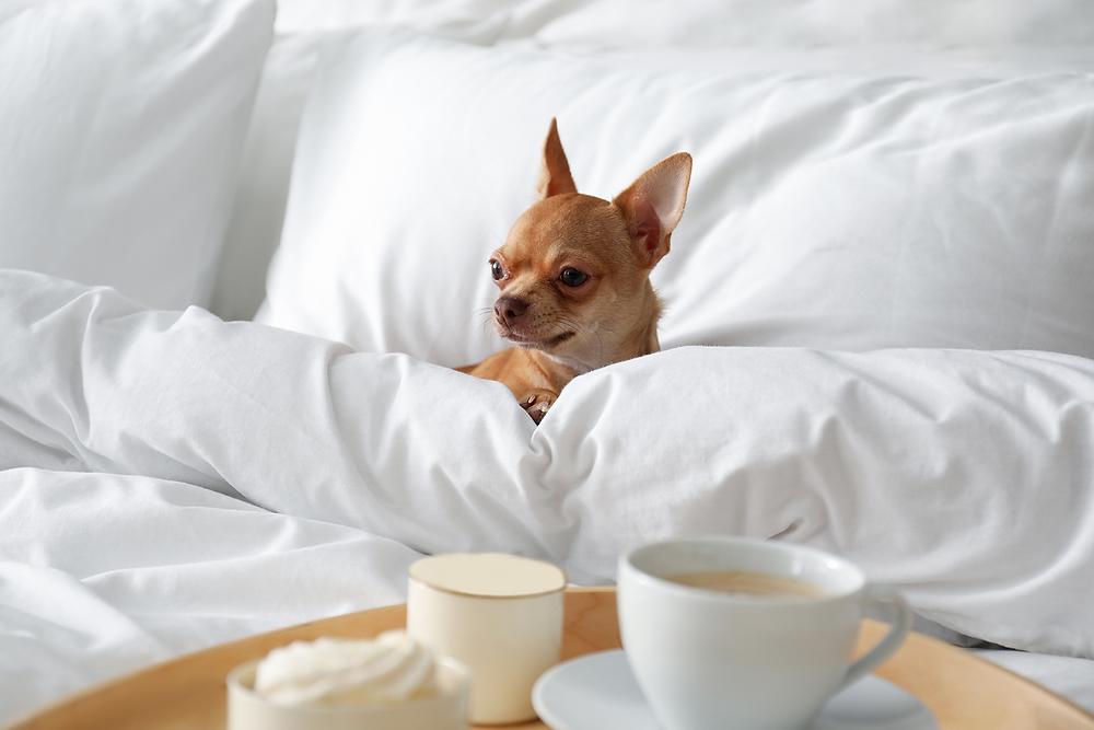 Chihuahua in bed - Shop Pet CBD at WildLifeRx