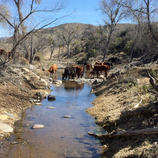 horses & cattle hanging by creek