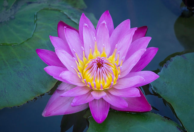 blue-lotus-flower.jpg