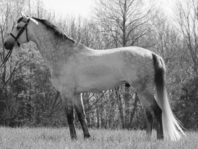 American Rhineland Studbook Announces New Stallion Approvals