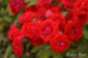 Ruby_Flower_Carnival_2084-004.jpg