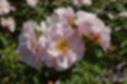 Shinonome_0997-012.jpg