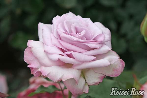 Lilac_Beauty_0316-012.jpg