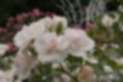 Aspirin_Rose_0567-010.jpg