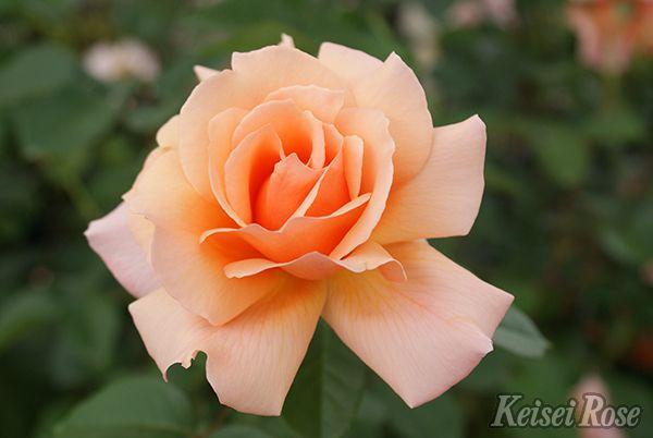 Apricot_Candy_0969-006.jpg