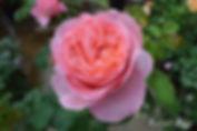 Mademoiselle_Meilland_2079-004.jpg