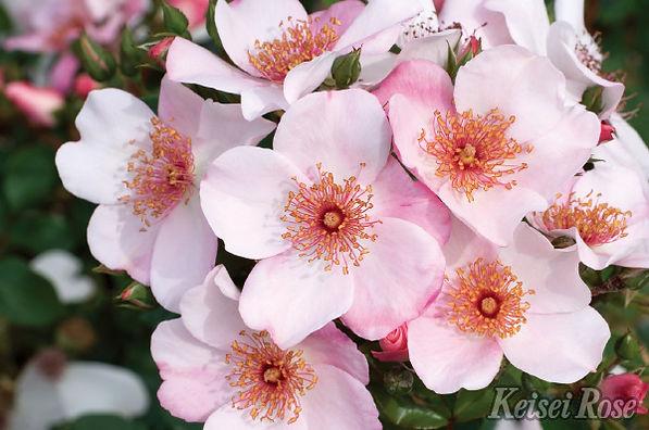 Pink_Sakurina_0539-002.jpg