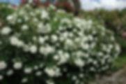 White_Meidiland_0506-002.jpg