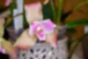 Lycaste Pink Dust, NENYOS20200307.jpg