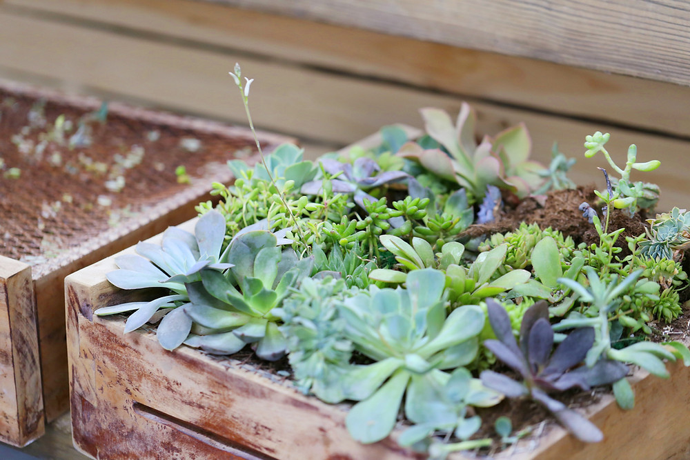 Succulents in Garden Box