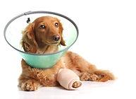 Sick dachshund wearing a funnel collar f