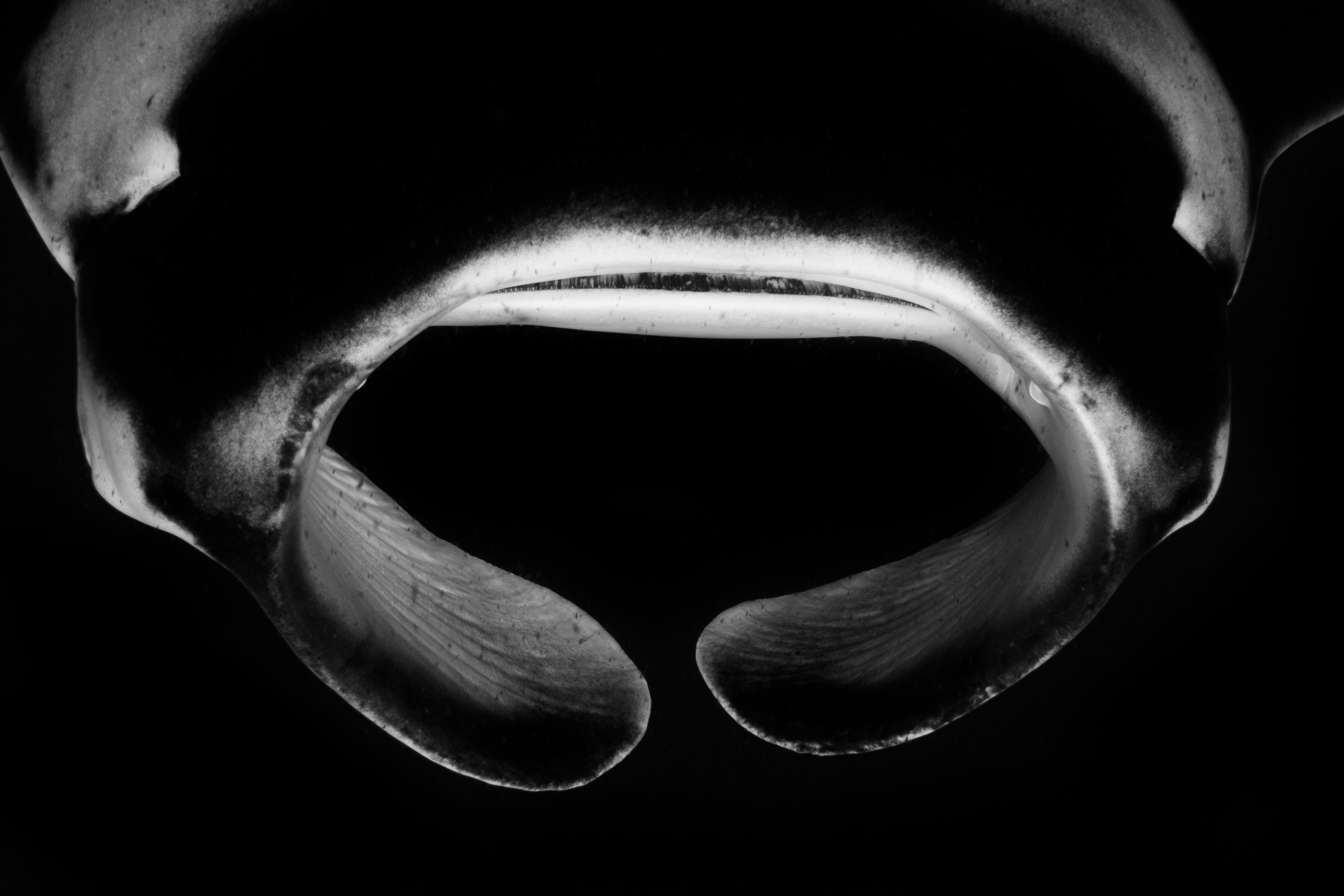 Cephalic fins