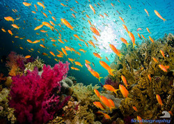 Softcoral and anthias