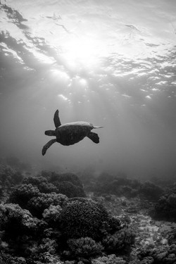 Black and white turtle