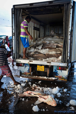 Truck full of dead sharks