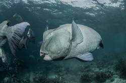 Giant humphead parrotfish