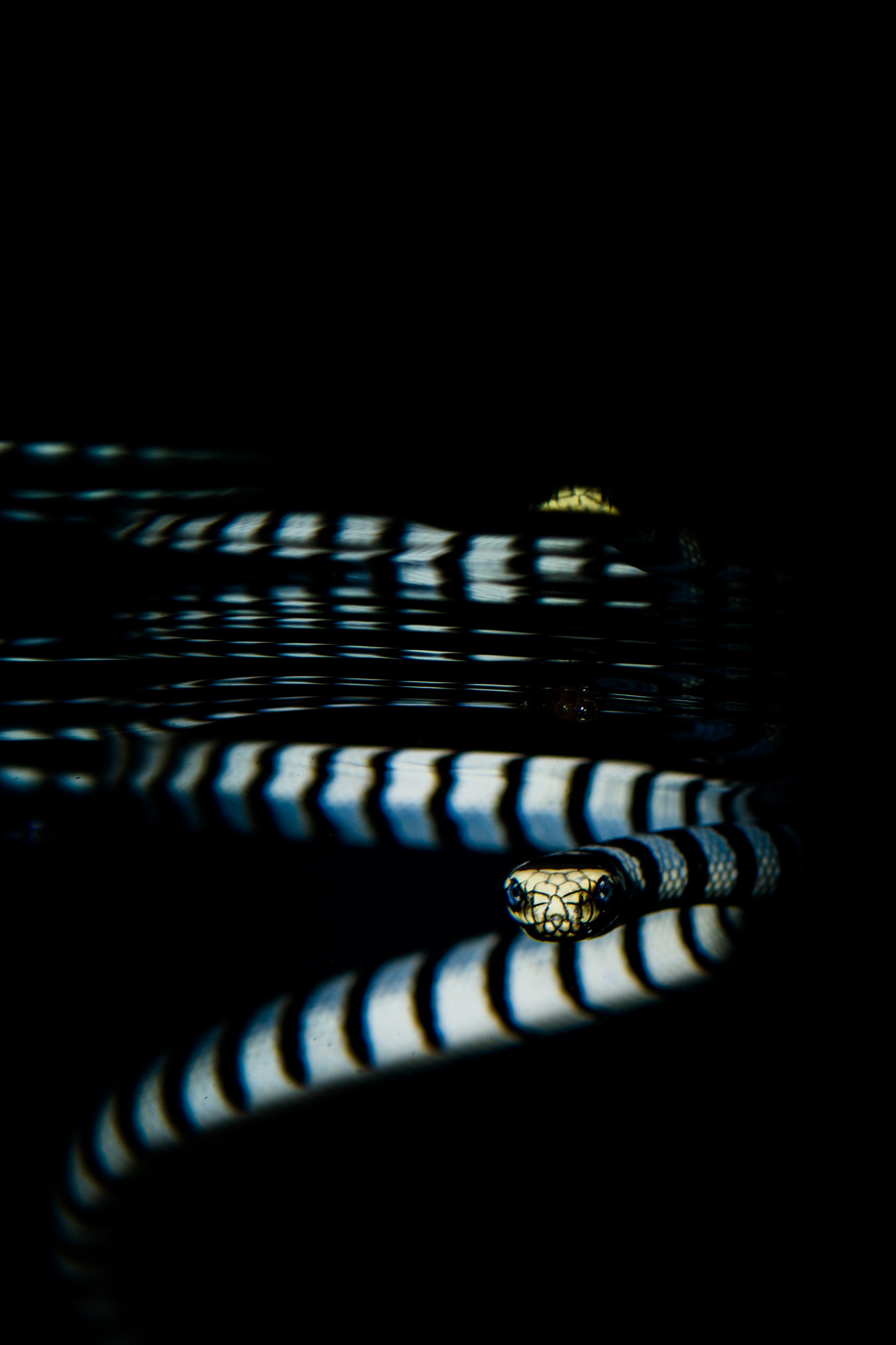 Sea krait staring