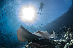 Sting ray and snorkeler