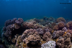 Apo Island coral reef