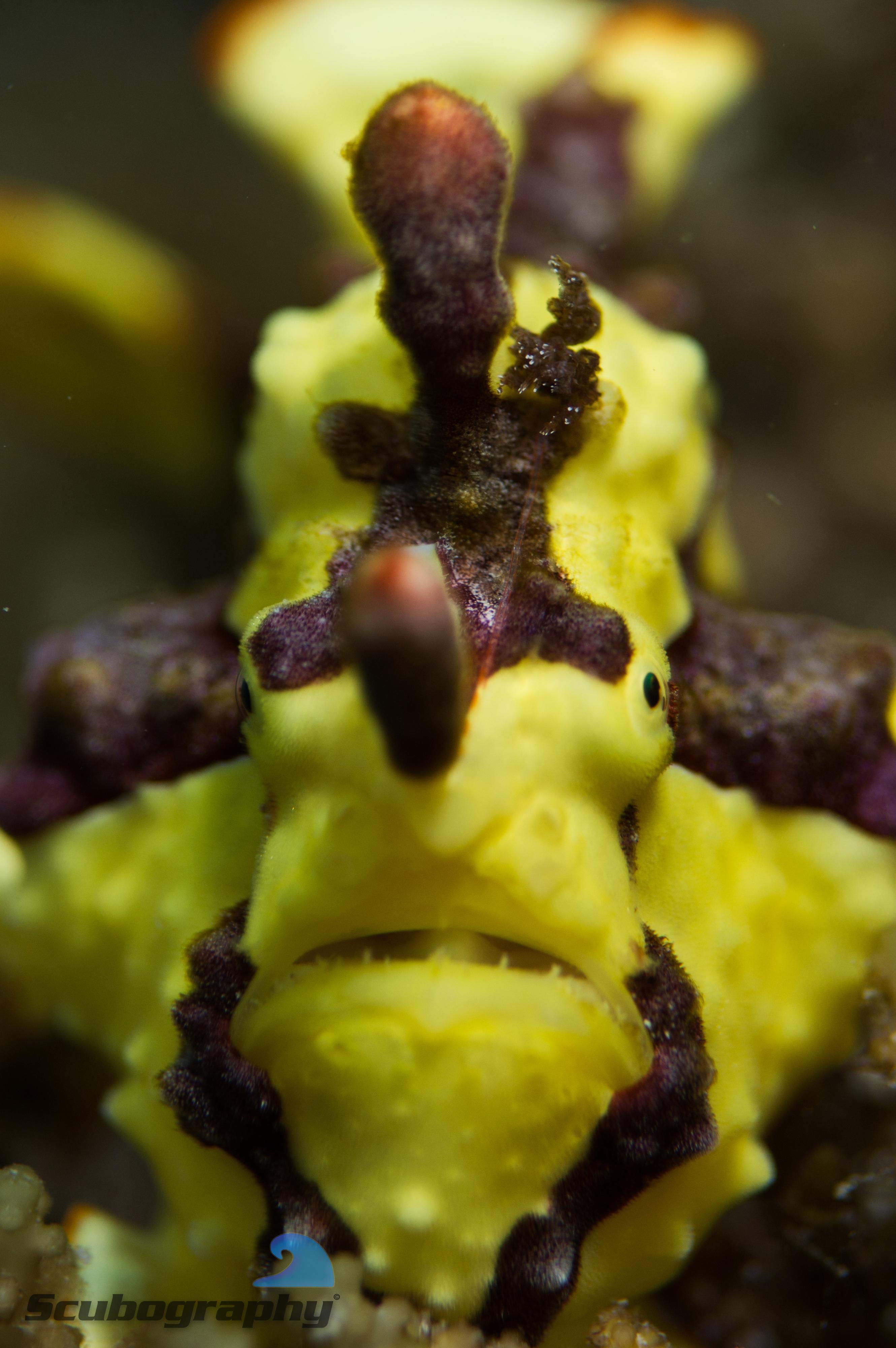 Grumpy frogfish