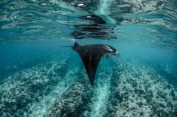 Manta in the shallows