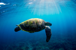 Turtle and sunrays