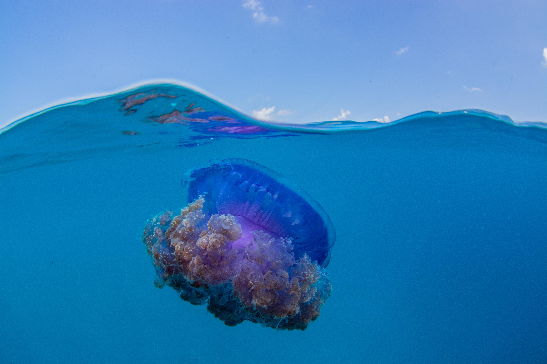 Crown jellyfish split shot