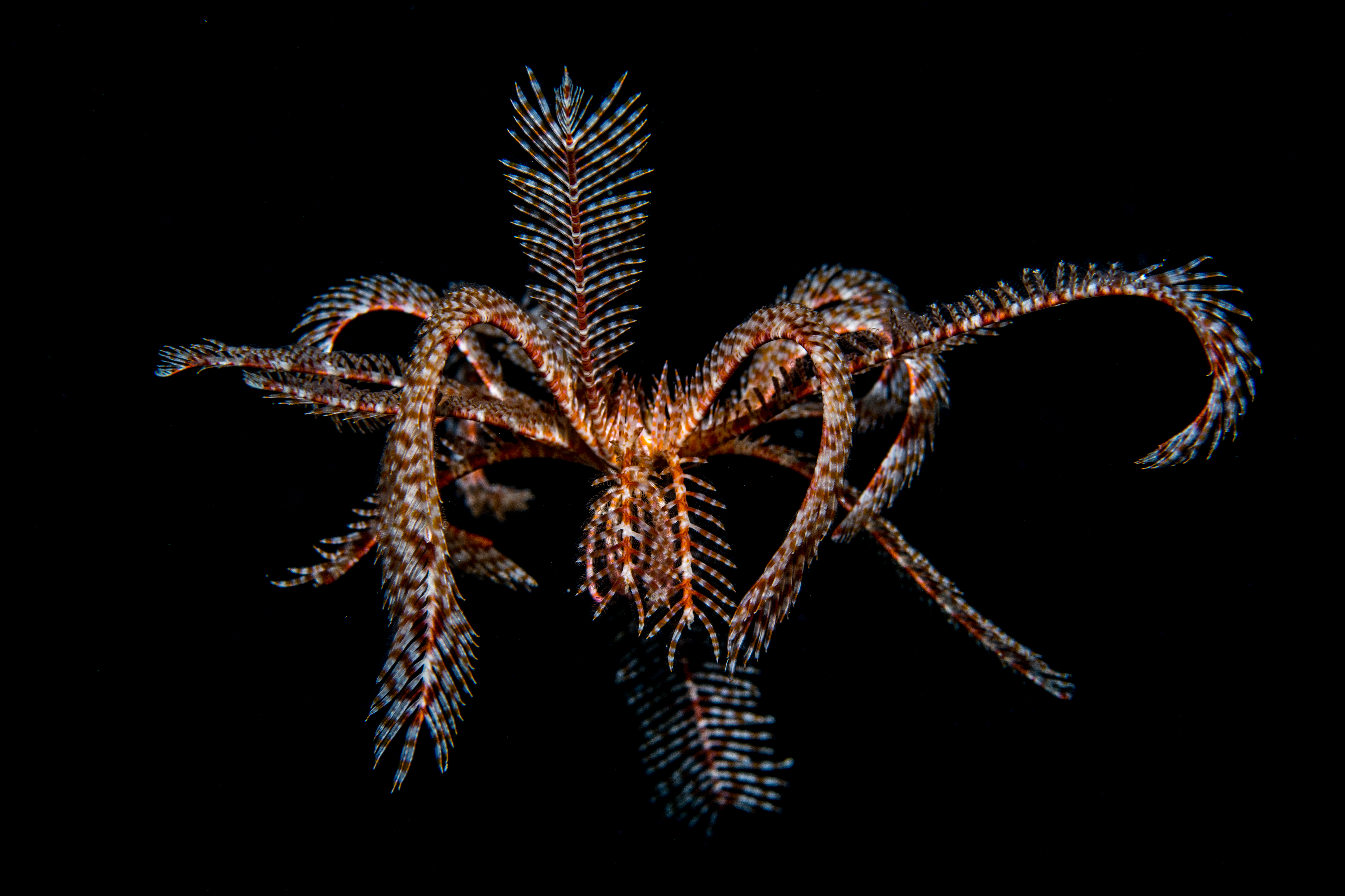 Swimming feather star