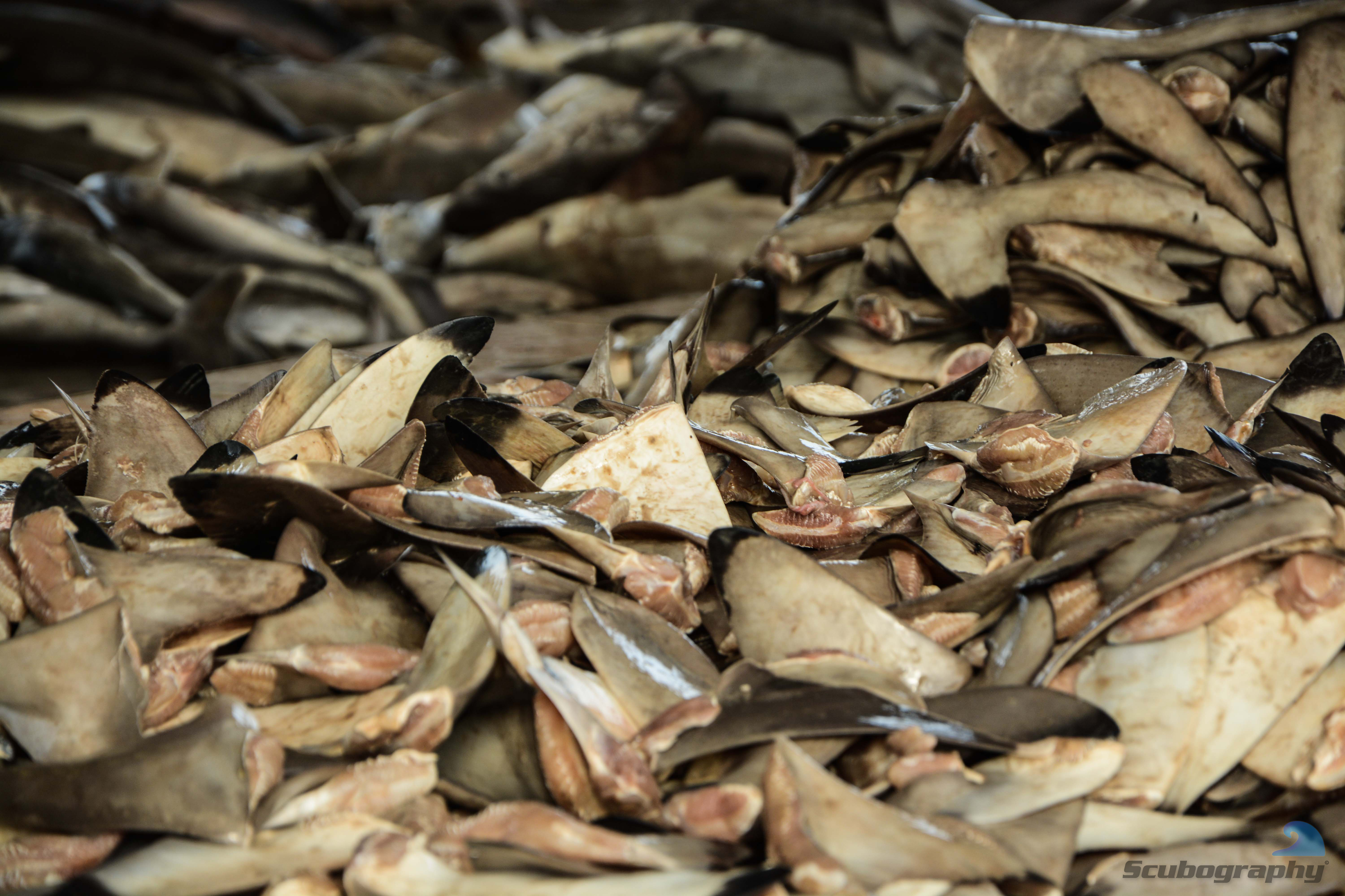 Piles of shark fins