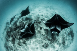 Four cleaning mantas