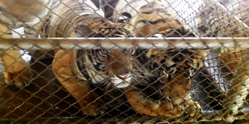 http://www.karlammann.com/tiger-farming.php#.V8QDpfl97IU