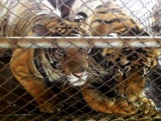 Tiger Farming – An Industry with a Range of Profit Centers