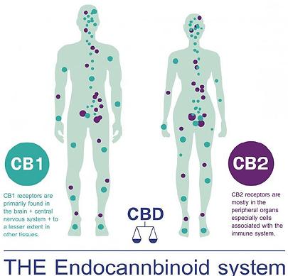 Endocannabinoid System.png