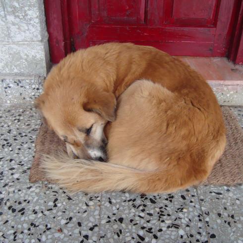 A dog guards Shri Mataji's house.JPG
